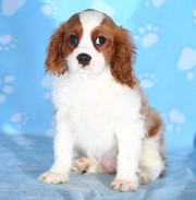 Cavalier King Charles Puppies Now Available.
