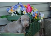 Weimaraner Puppies Now Available.