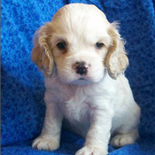 Great litter  male Cocker Spaniel puppy for free adoption