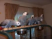 Parrots and fresh parrot eggs for sale.