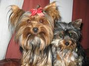 cute yorkie puppies for free to re home