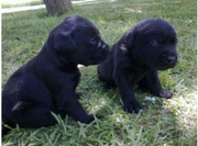 labradoodles are looking for a home thats safe and caring