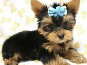 Wow, Cute Yorkie Puppies For Free Adoption
