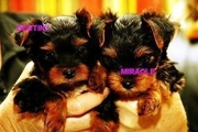 awesome teacup yorkie puppies ready to go to loving homes